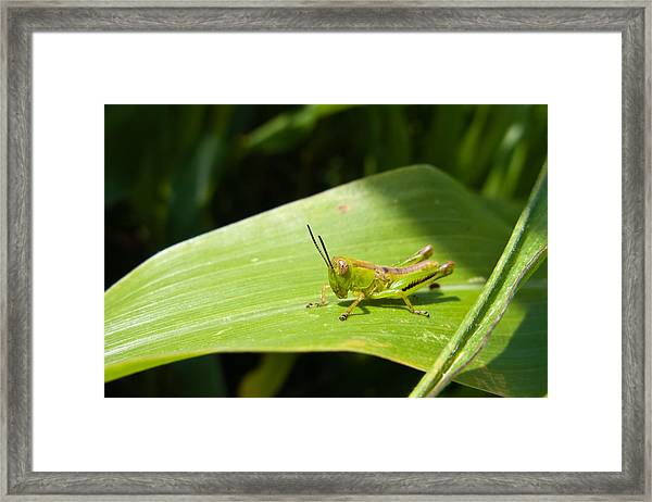 Grasshopper On Corn Leaf   Framed Print