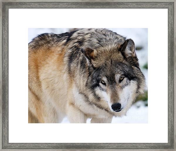 Gray Wolf Framed Print