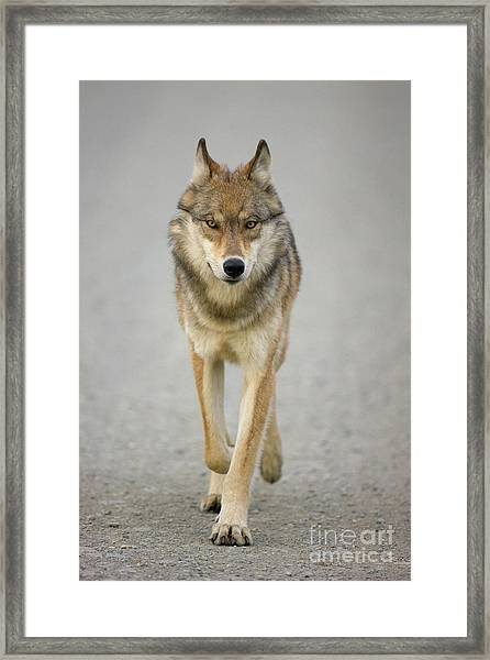 Gray Wolf Denali National Park Alaska Framed Print