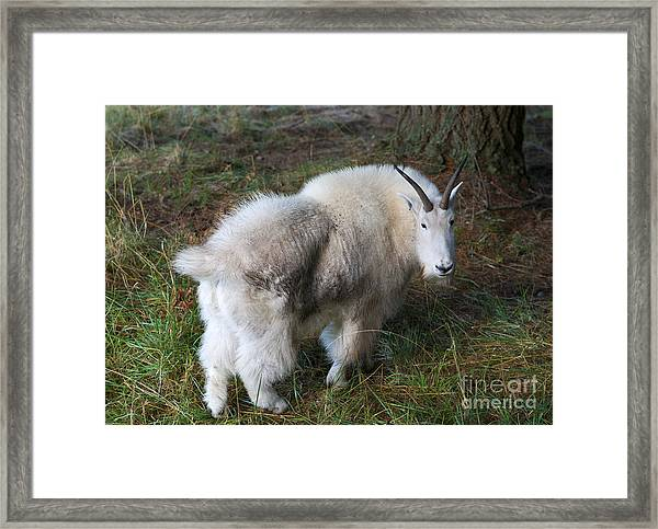 Grazing Mountain Goat Framed Print