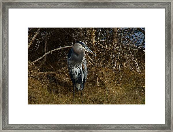 Great Blue Heron 2 Framed Print