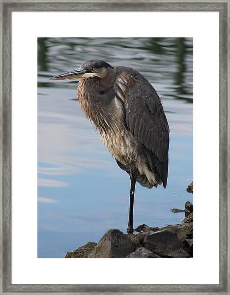 Great Blue Heron At Deep Water Lagoon Framed Print