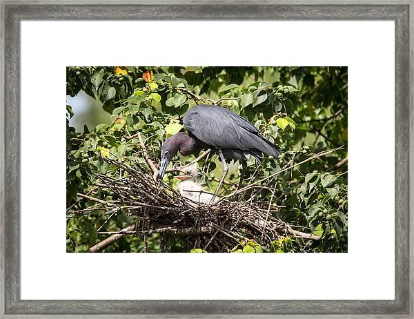 Great Blue Heron Chicks In Nest Framed Print