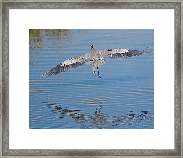 Great Blue Heron Flying Away Framed Print