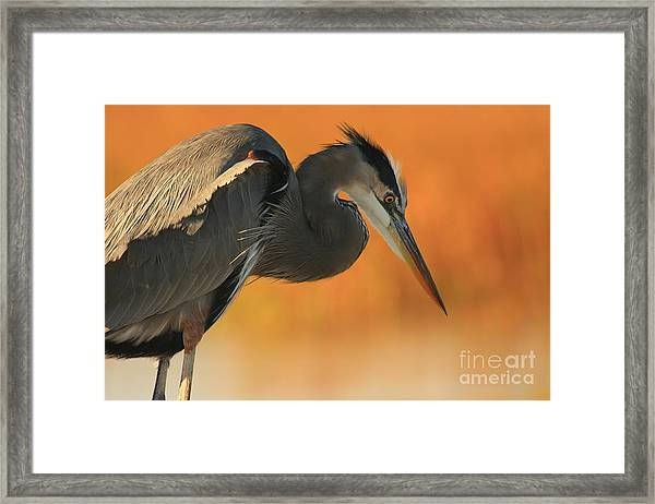 Great Blue Heron Focus Framed Print