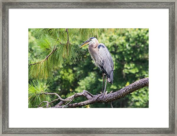 Great Blue Heron I Framed Print