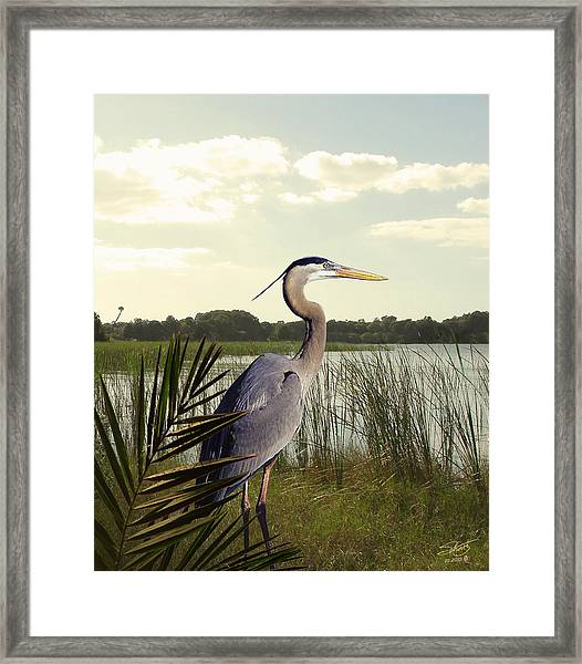 Great Blue Heron In The Bulrushes Framed Print by M Spadecaller