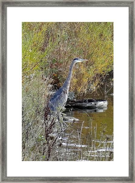 Great Blue Heron - Juvenile Framed Print