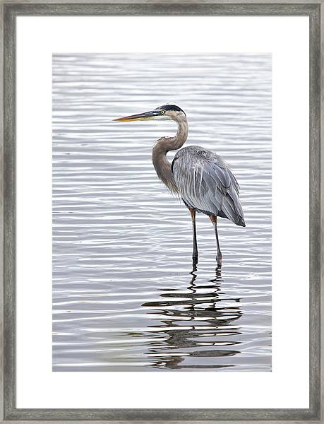 Great Blue Heron Standing In Water Framed Print