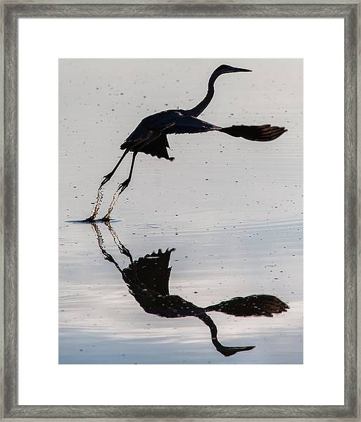 Great Blue Heron Takeoff Framed Print
