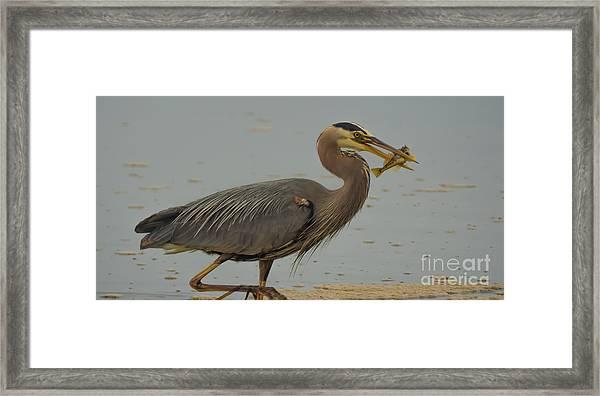 Great Blue Herron Eating Fish Framed Print