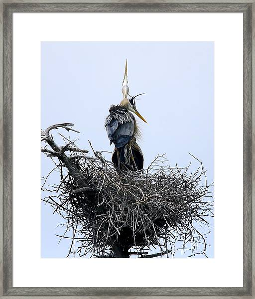 Great Blues Framed Print