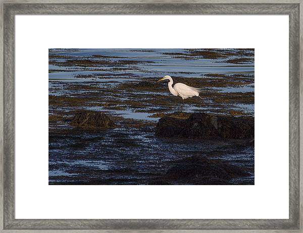 Great Egret At Avery Point Framed Print