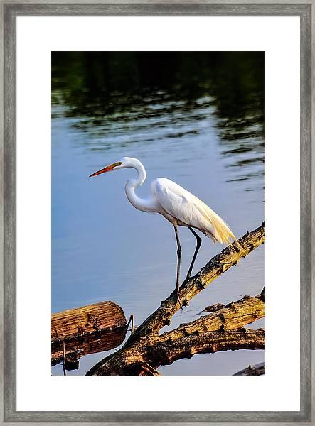 Great Egret Fishing Framed Print