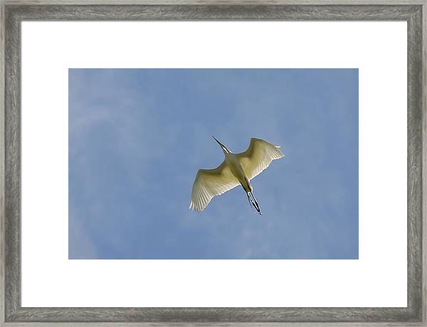 Great Egret Flyover 3 Framed Print