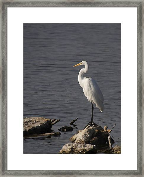 Great Egret Framed Print