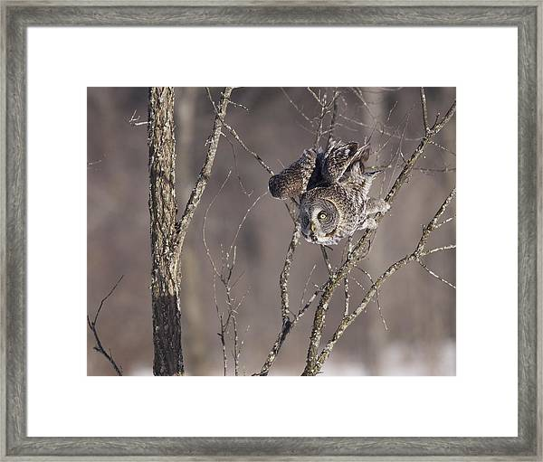 Great Gray Owl Framed Print by Brian Magnier