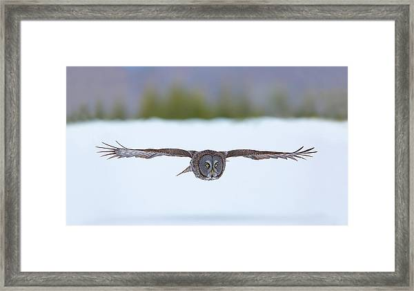 Great Gray Owl On The Hunt Framed Print