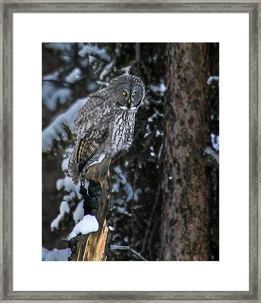 Great Grey Framed Print