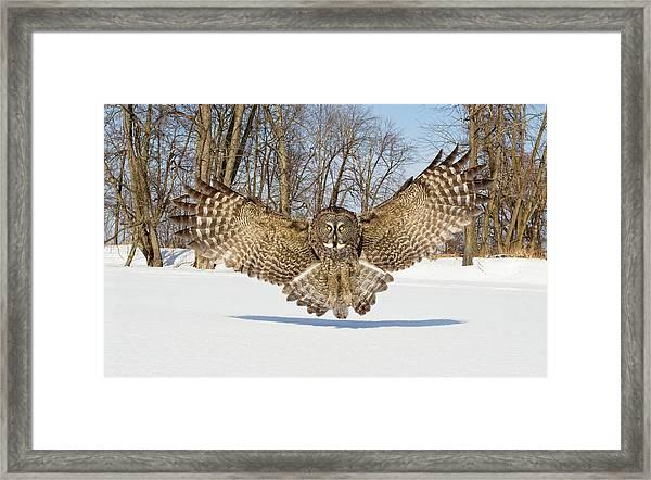 Great Grey Owl Attack Framed Print