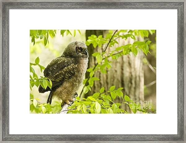 Great Horned Owlet Framed Print