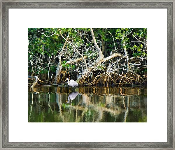 Great White Egret And Reflection In Swamp Mangroves Framed Print