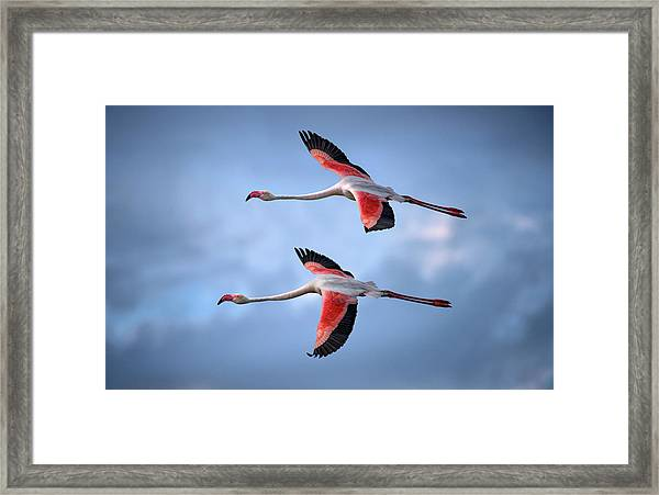 Greater Flamingos Framed Print by Xavier Ortega