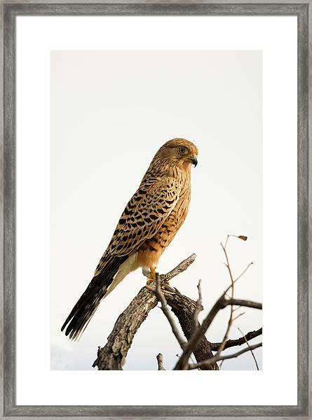 Greater Kestrel Falco Rupicoloides Framed Print