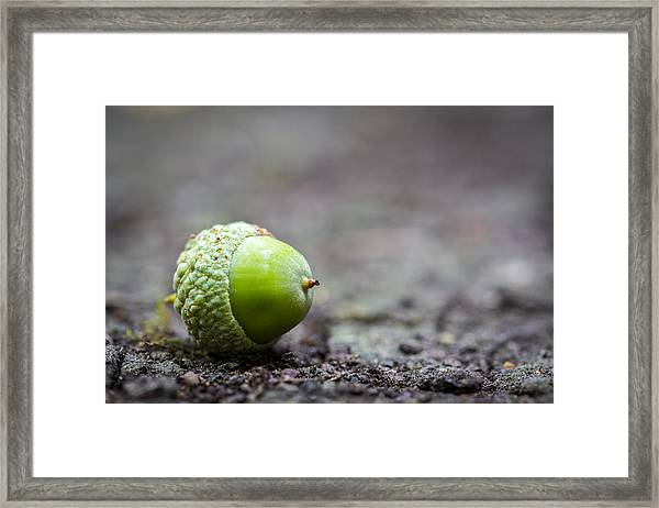 Green Acorn. Framed Print