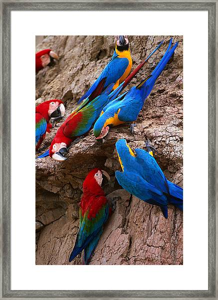 Green And Red And Blue And Gold Macaws Framed Print
