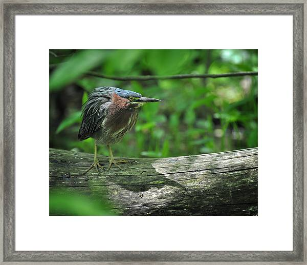 Green Backed Heron At The Swamp Framed Print