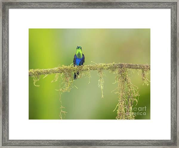 Green-crowned Woodnymph Hummingbird Framed Print
