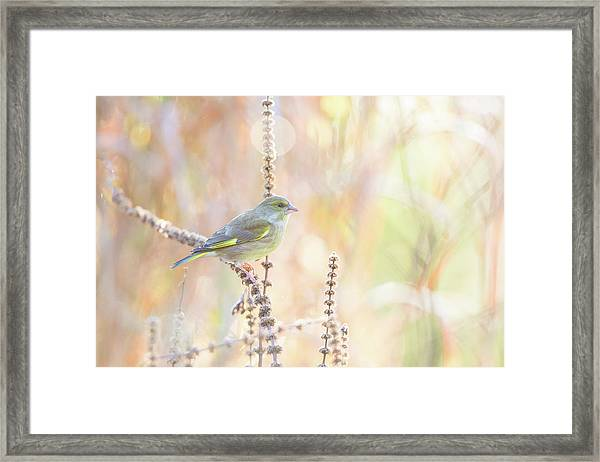 Green Finch Framed Print