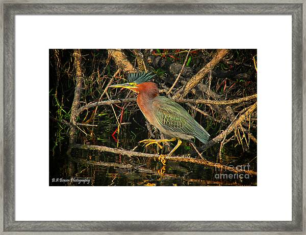 Green Heron Basking In Sunlight Framed Print