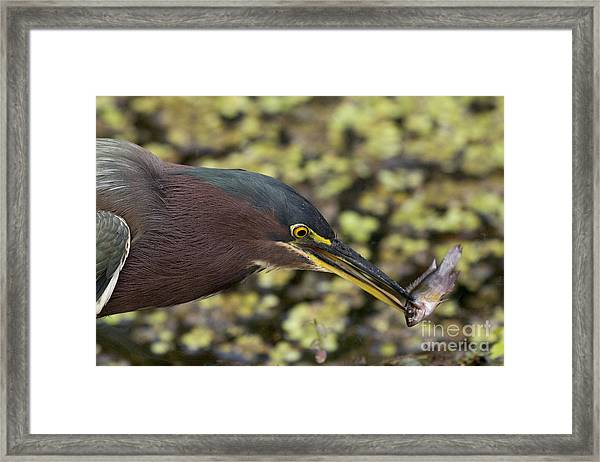 Green Heron Fishing Framed Print