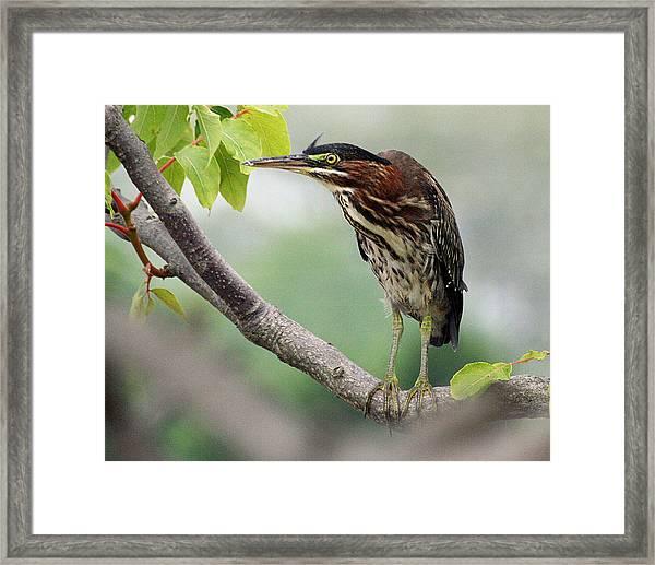 Green Heron In Sumac Framed Print