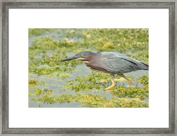 Green Heron On The Hunt Framed Print