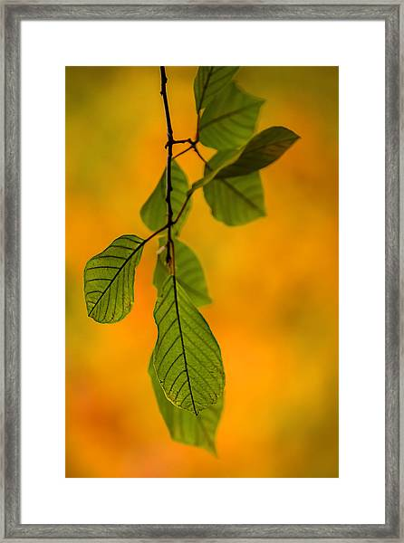 Green Leaves In Autumn Framed Print