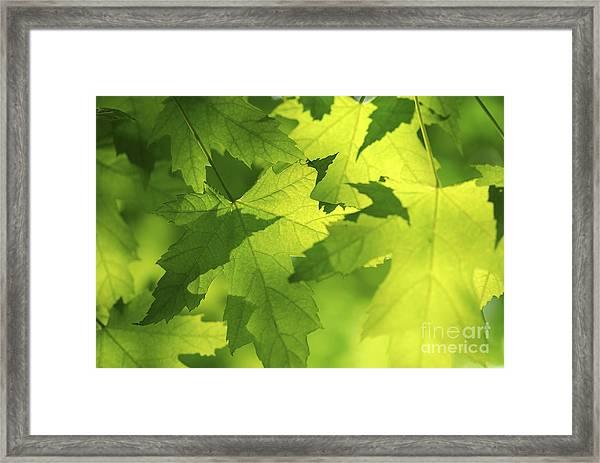 Green Maple Leaves Framed Print