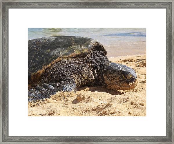 Green Sea Turtle 2 - Kauai Framed Print