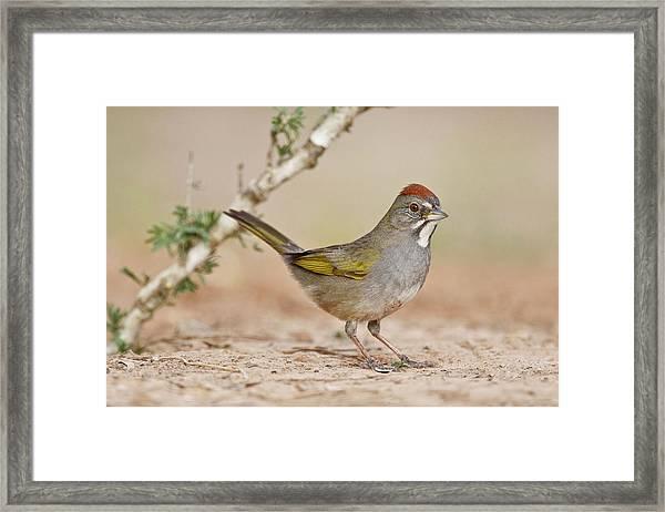 Green-tailed Towhee (pipilo Chlorurus Framed Print