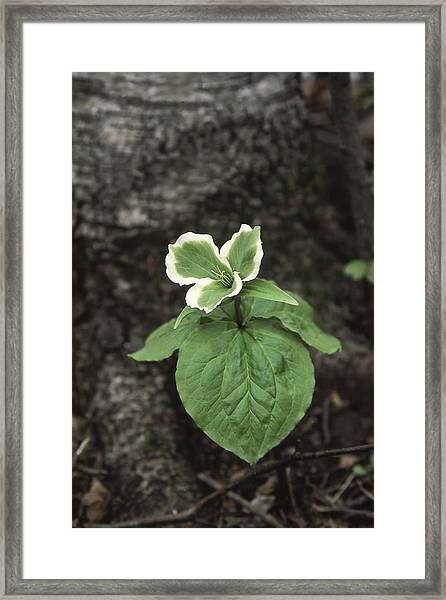 Green Trillium Framed Print by Gary Hall
