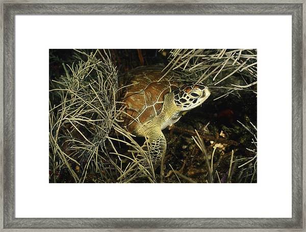 Green Turtle In Soft Corals Framed Print