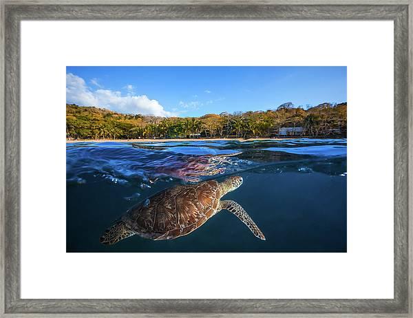 Green Turtle - Sea Turtle Framed Print by Barathieu Gabriel