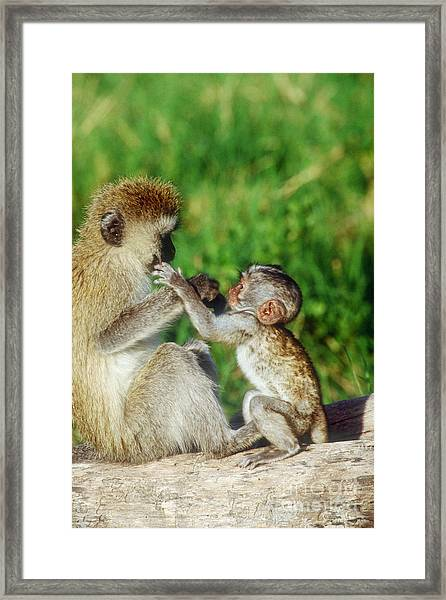 Green Vervet Monkey And Young Framed Print