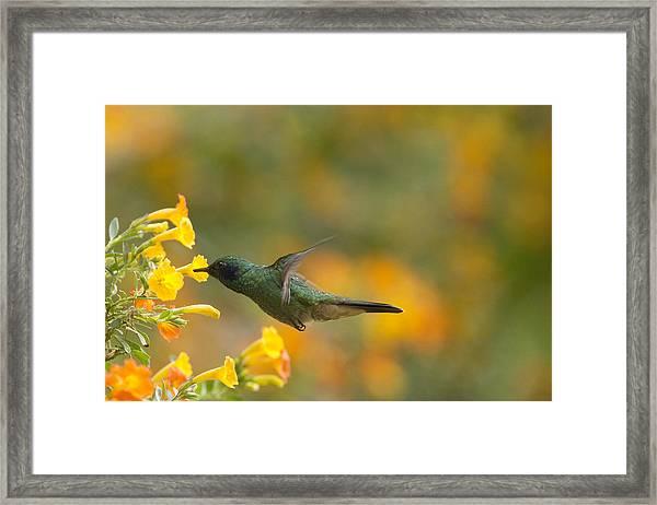 Green Violet-ear Hummingbird Framed Print