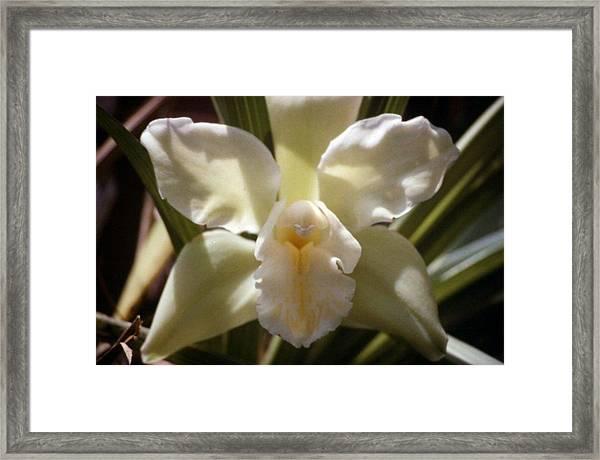 Green/white Orchid Framed Print