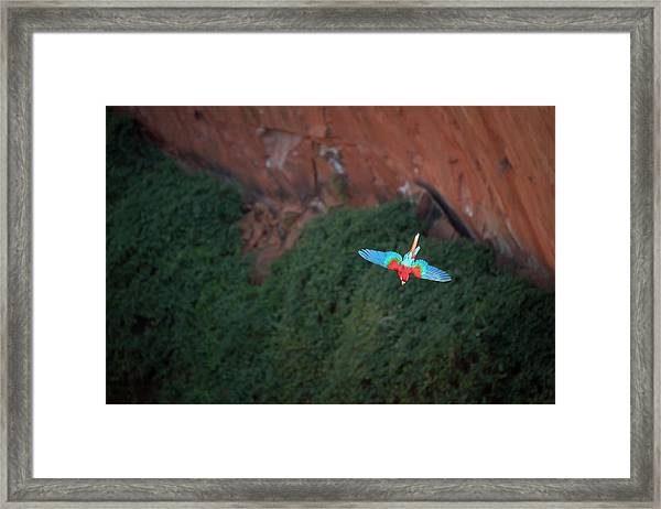 Green-winged Macaw In Flight Ara Framed Print