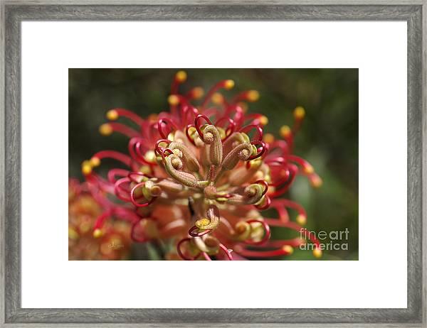 Grevillea Superb Australian Flora Framed Print