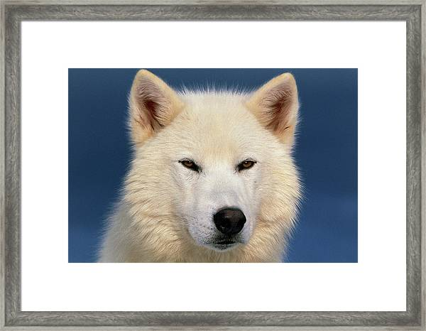 Grey Wolf White-form Framed Print
